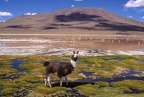 Lama on Santa de Ayes National Park in Bolivia andes