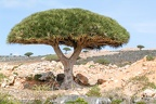 Endemic Dragon tree of Socotra Island
