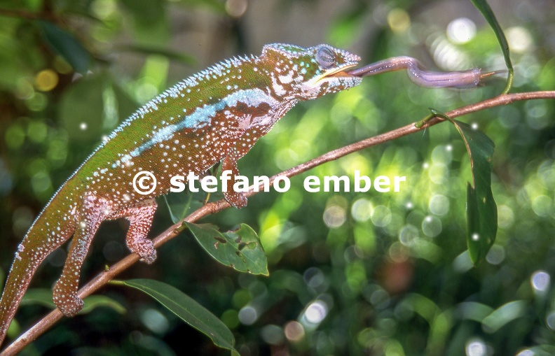 Chameleon is catching a cricket by extending his tongue on the forest