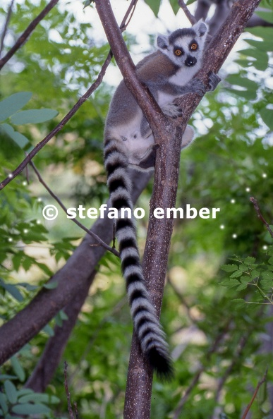 Lemur Catta on a tree