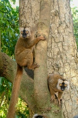 Common brown lemur on a tree