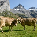 Brown cows that graze at Furenalp over Engelberg